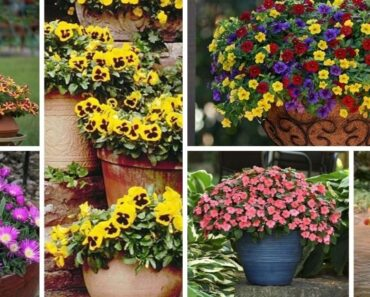 Fall Flowers for Pots and Containers